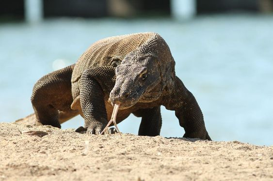 Komodo Dragon Island, Land of The Endangered Fable Species
